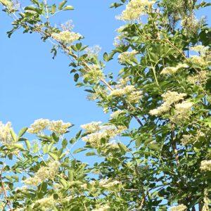 Holunderstrauch mit seinen Blüten